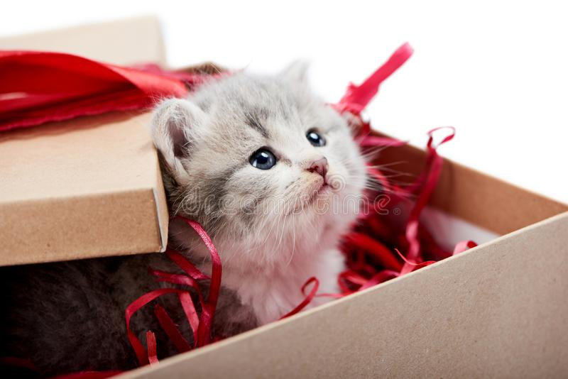 Kleines neugieriges graues flaumiges Kätzchen, das vom verzierten Pappgeburtstagskasten ist nettes Geschenk nach spezieller Geleg lizenzfreie stockfotografie