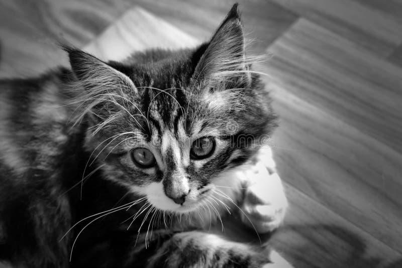 Kleines norwegisches Kätzchen, das auf dem einfarbigen Grundfoto stillsteht stockfotos