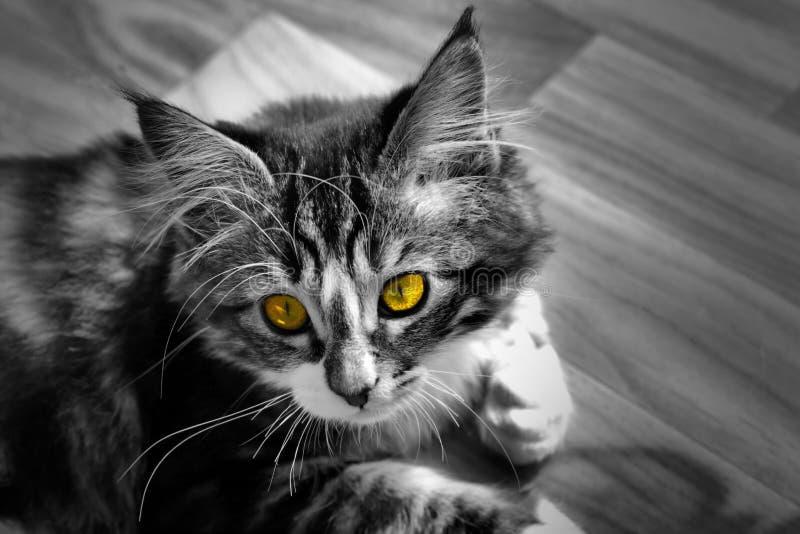 Kleines norwegisches Kätzchen, das auf dem einfarbigen Grundfoto und der Katze mit bunten gelben Augen stillsteht stockbild