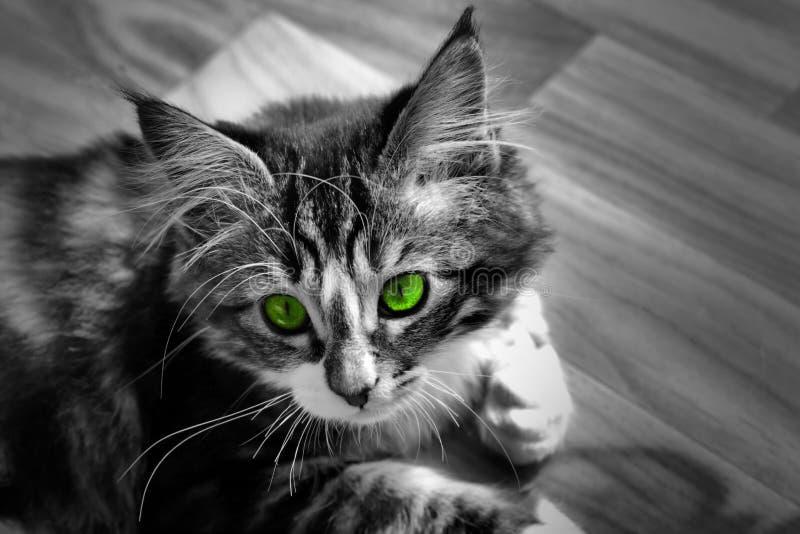 kleines norwegisches Kätzchen, das auf dem einfarbigen Grundfoto und der Katze mit bunten grünen Augen stillsteht stockbild