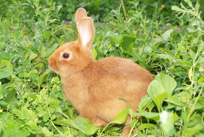 Kleines orange Kaninchen lizenzfreies stockfoto