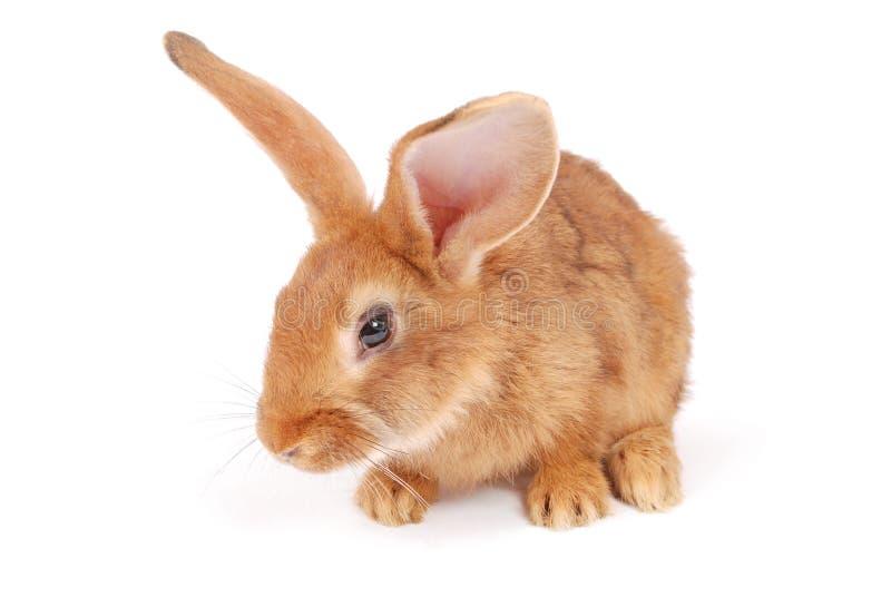 Kleines orange Kaninchen stockfotos