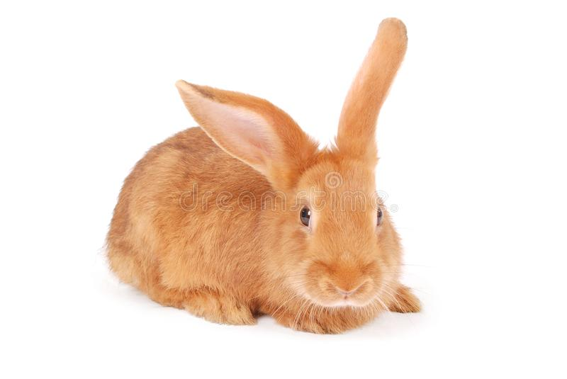 Kleines orange Kaninchen lizenzfreie stockbilder