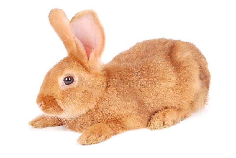 Kleines orange Kaninchen stockbild