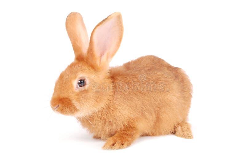 Kleines orange Kaninchen lizenzfreie stockfotos