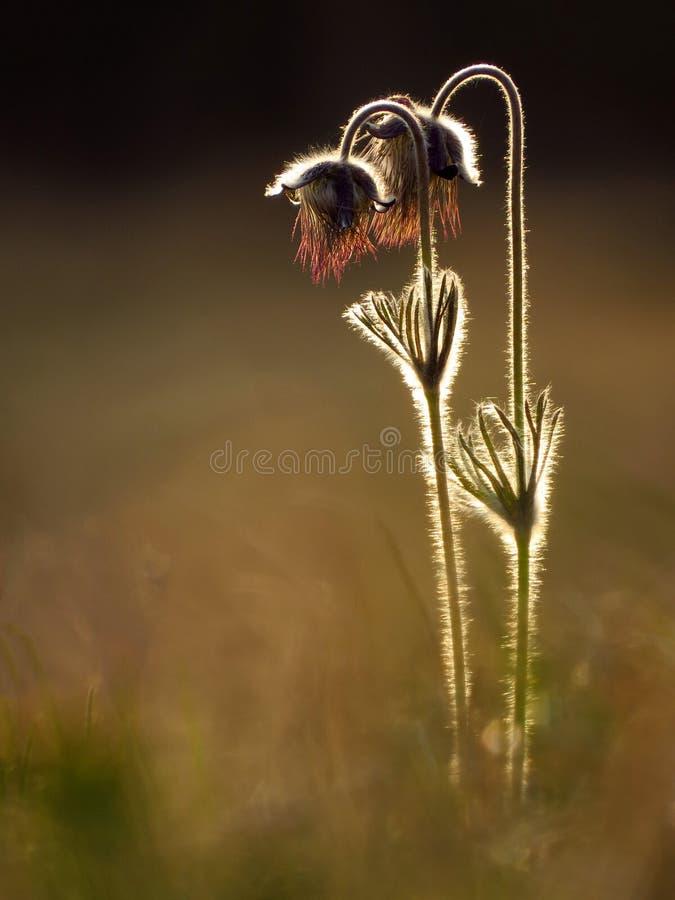 Kleines pasque Blume Pulsatilla pratensis ssp nigricans stockfotos