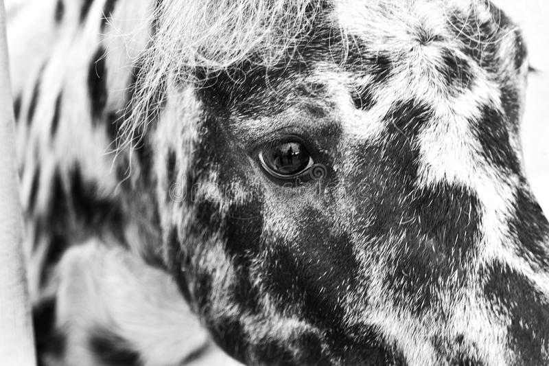 Kleines Pony stockbild