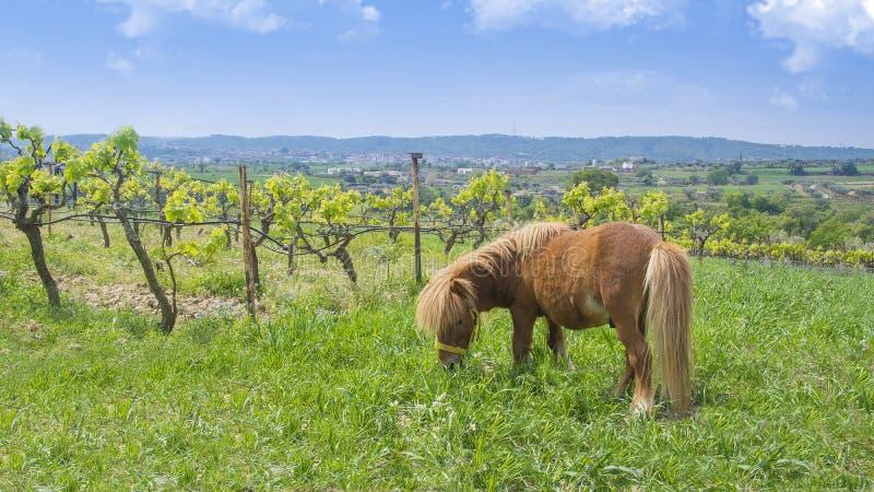 Kleines Pony Browns nahe bei einem Weinberg gegen einen blauen bew?lkten Himmel Landwirtschaft und l?ndliche Landschaft mit leere lizenzfreie stockfotografie