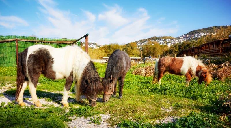Kleines Pony drei, das auf dem grünen Feld weiden lässt lizenzfreie stockbilder
