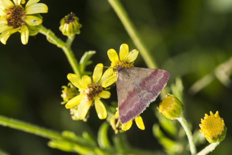 Kleines purpurrot-abgehaltenes Phytometria-viridaria lizenzfreie stockbilder