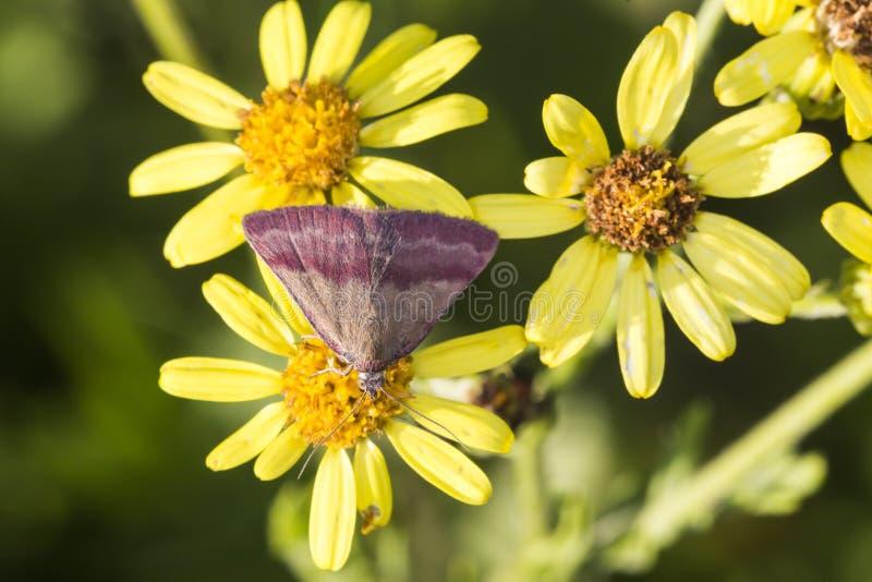 Kleines purpurrot-abgehaltenes Phytometria-viridaria lizenzfreie stockfotografie