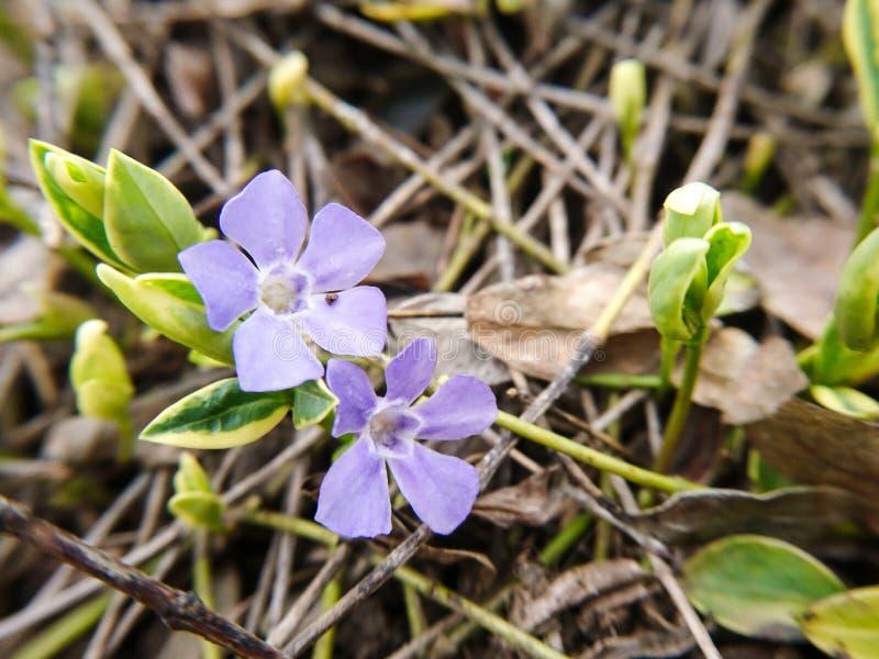 Kleines purpurrotes Blumenmakro Nette Farben entspringen Naturblühen stockfoto