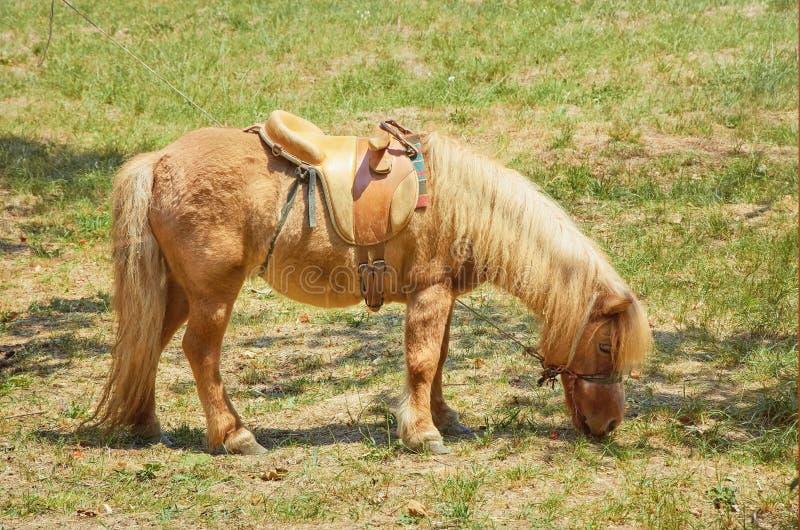 Kleines rotes Pony lizenzfreies stockfoto