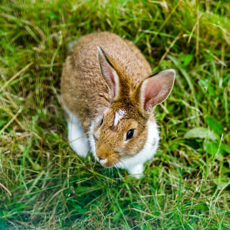 Kleines schönes Kaninchen auf grünem Gras, Bauernhofsäugetiere stockfotos