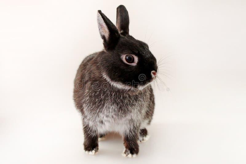 Kleines schwarzes Kaninchen auf weißem Hintergrund Netherland-Zwergkaninchen stockbilder