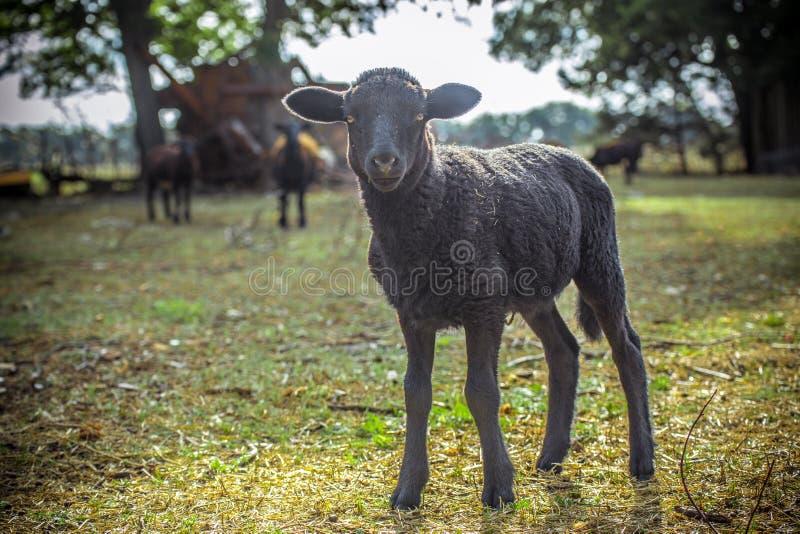 Kleines schwarzes Lamm stockfotos