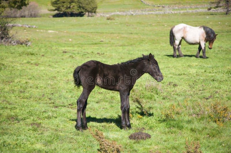 Kleines schwarzes Pferd stockfoto