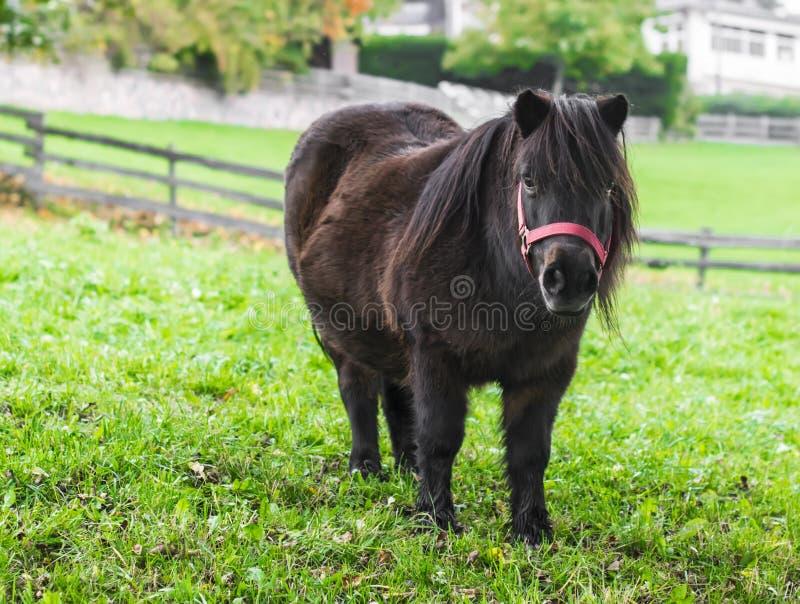 Kleines schwarzes Pony auf einer grünen Wiese lizenzfreies stockbild