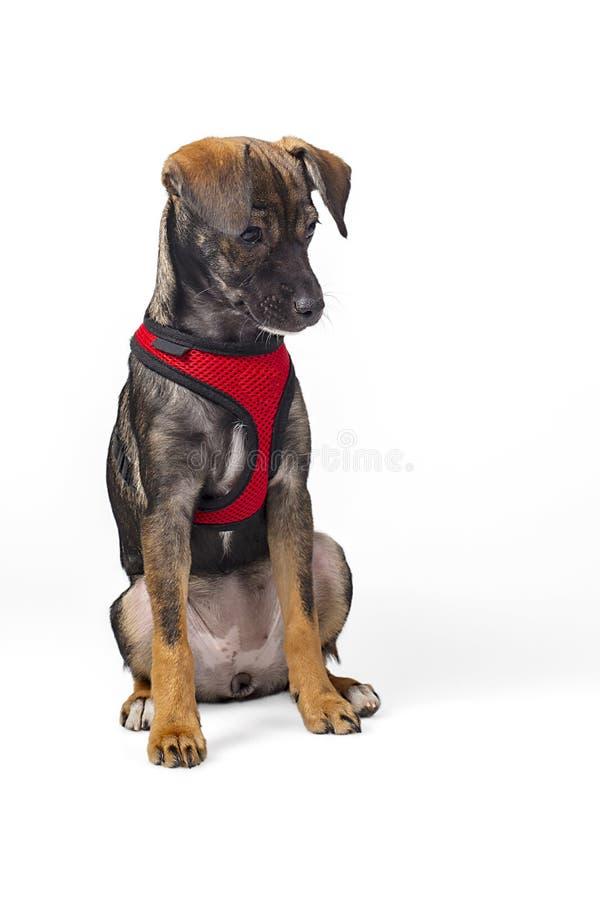 Kleines Schwarzes und Brown-Hund mit gehendem Geschirr lizenzfreies stockbild