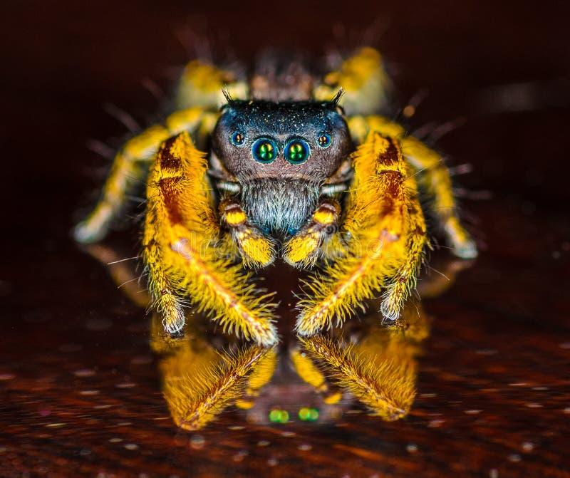 Kleines schwarzes und gelbes springendes Spinnen-Makro stockfoto