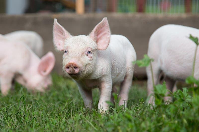 Kleines Schwein, das auf einem Bauernhof mit anderen Schweinen am sonnigen Tag weiden lässt stockfotografie