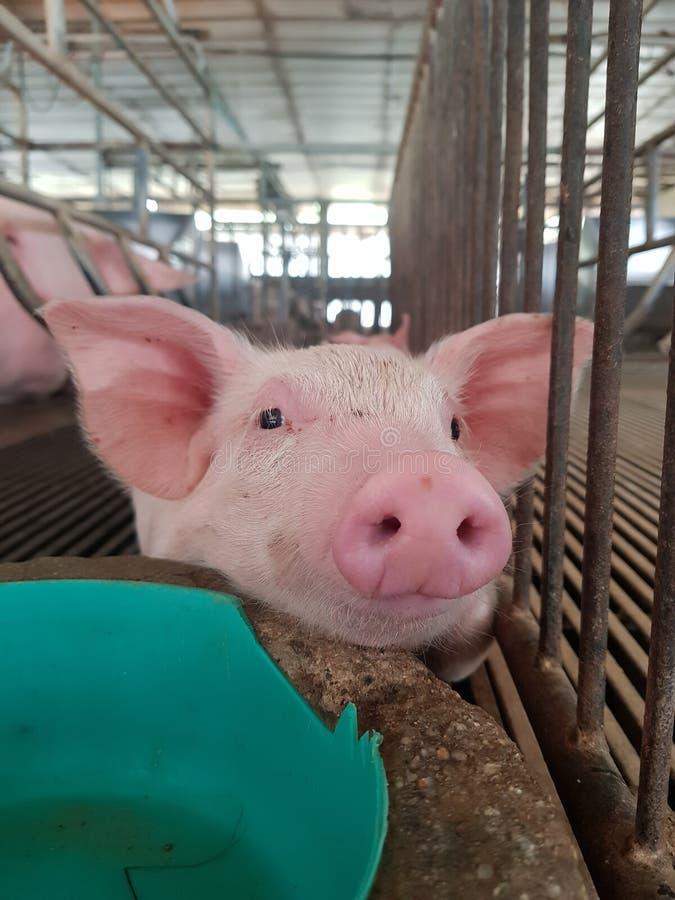 Kleines Schwein in wenigem Bauernhof lizenzfreies stockfoto