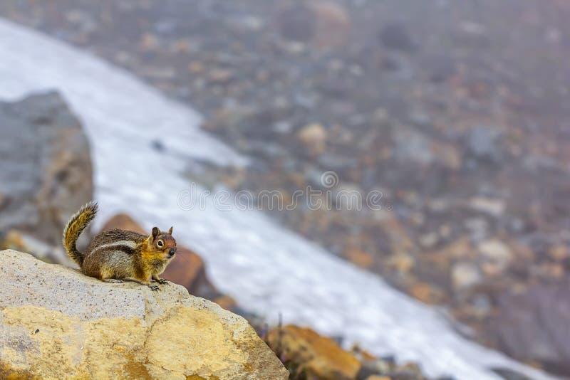 kleines Streifenhörnchen auf Felsen nahe alpinen Schneefeldern im Sommer der großen Höhe lizenzfreie stockbilder