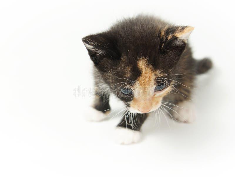 Kleines unterhaltendes pickeliges Kätzchen lizenzfreie stockbilder