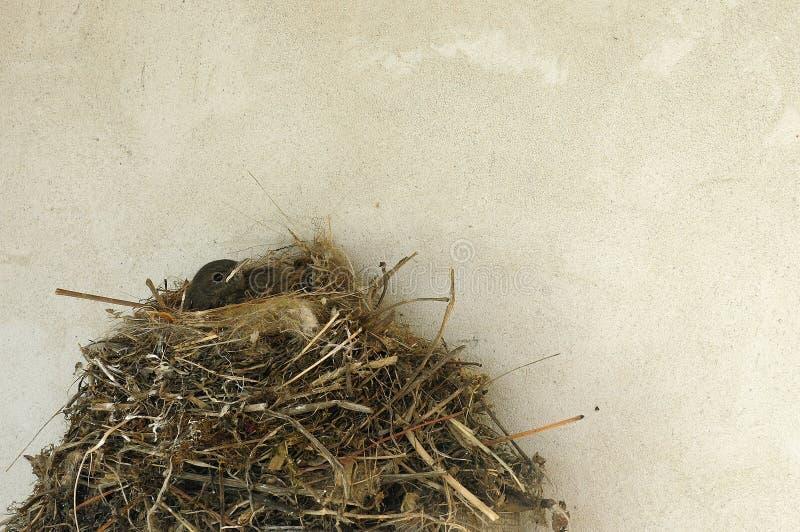 Kleines Vogelbaby im Nest nahe der Wandbeschaffenheit lizenzfreie stockfotos