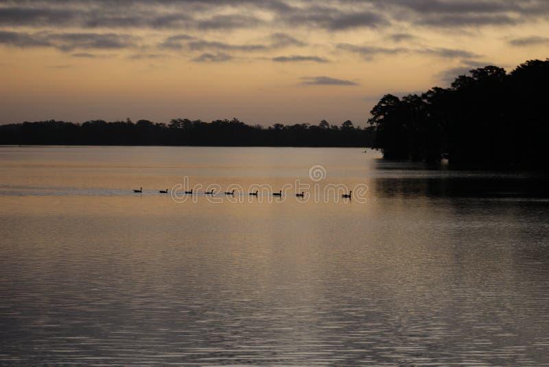 Kleines Washington Geese bei Sonnenaufgang lizenzfreies stockbild