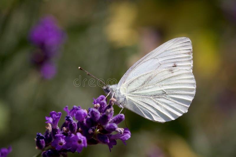 Kleines Weiß auf einer Lavendel-Blume stockfoto