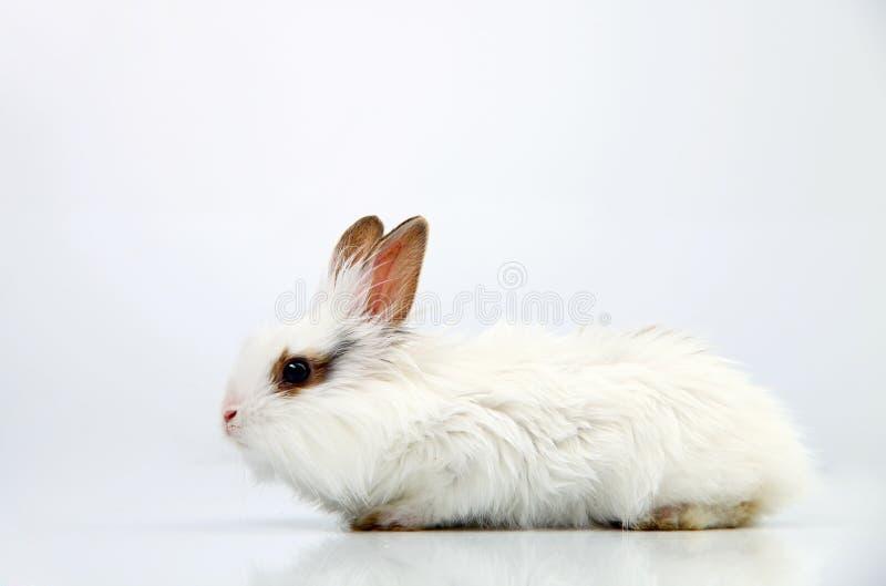 Kleines weißes Hauskaninchen lizenzfreie stockfotografie