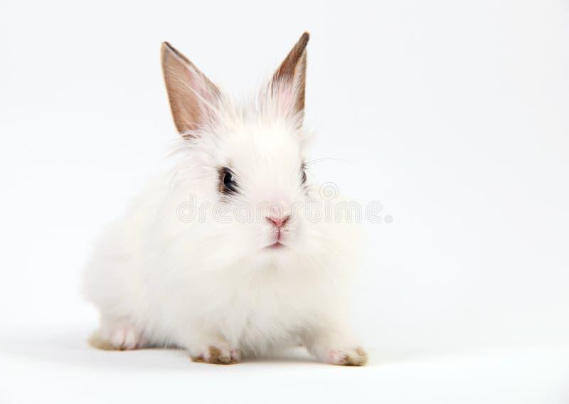 Kleines weißes Hauskaninchen auf weißem Hintergrund lizenzfreie stockfotos