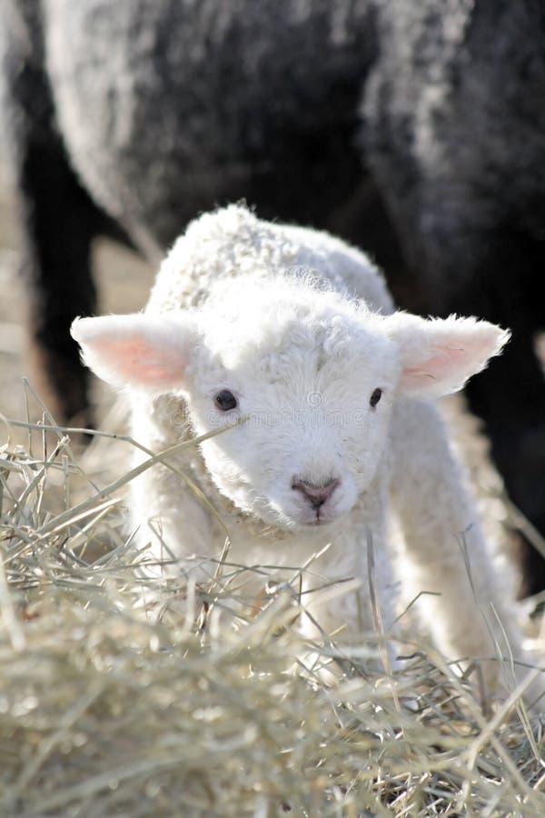 Kleines weißes Lamm. lizenzfreies stockbild