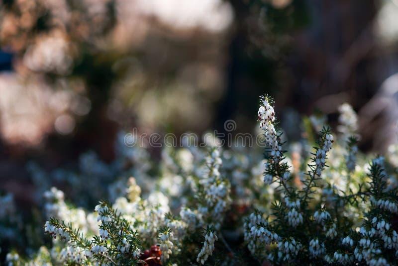 Kleines weißes Heath Flowers stockfoto