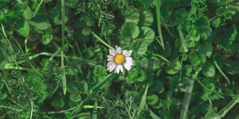 Kleines wenig weißes daisie in der Draufsicht der Wiese stockfoto
