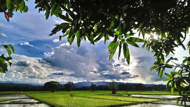 Kleistych ryż pole obraz stock