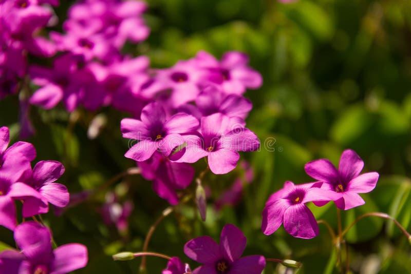 Klematiers är en grupp av växter, som har mer än 200 art, dem klättrar mestadels växter arkivbilder