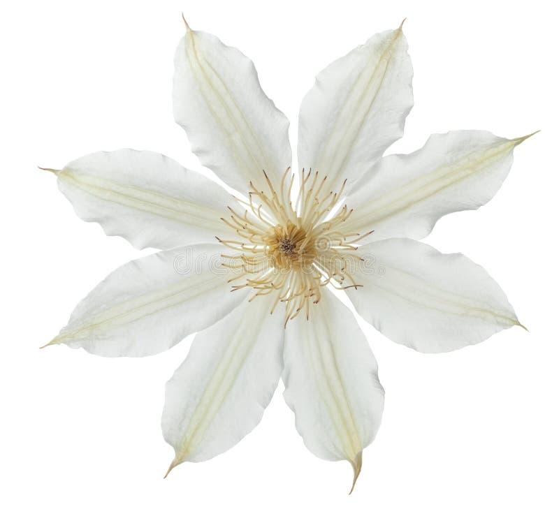 Klematisblume lokalisiert auf wei?em Hintergrund stockfotografie
