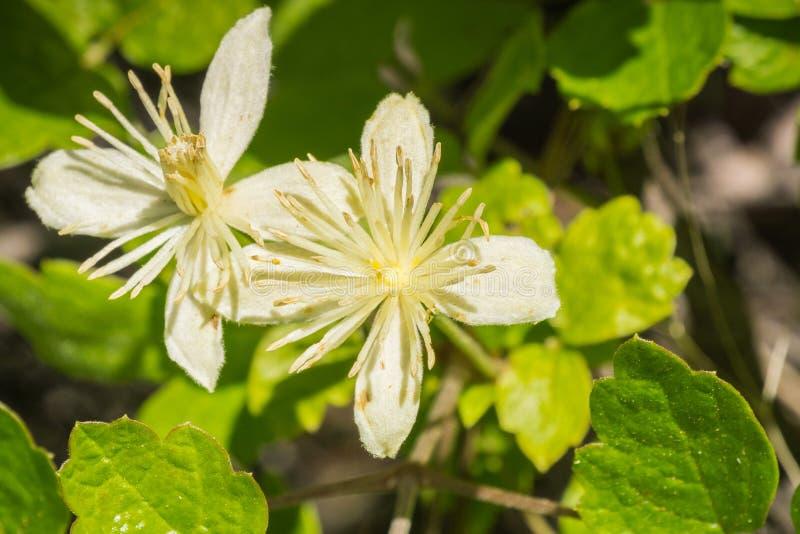 KlematislasianthaPipestem klematis som blommar i våren, Stebbins kall kanjon, Napa Valley, Kalifornien royaltyfri bild