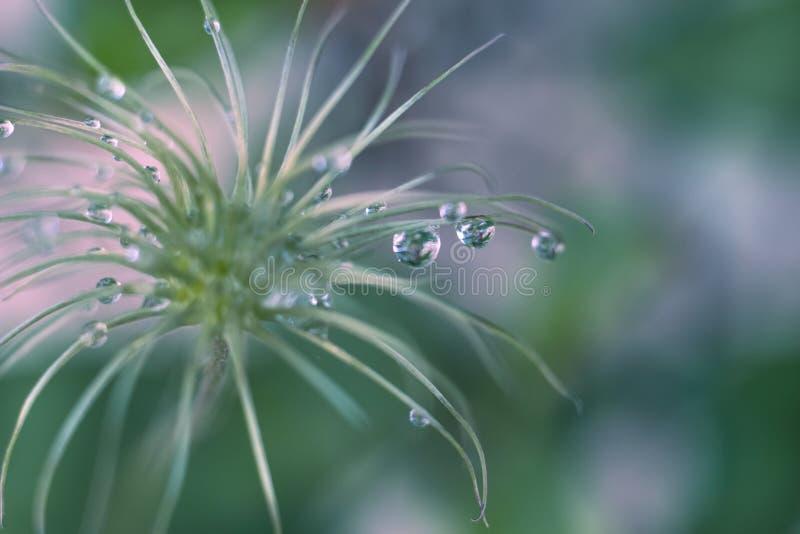 Klematisslut av att blomma omoget frö av en droppe av vatten efter abstraktionmakro royaltyfri foto