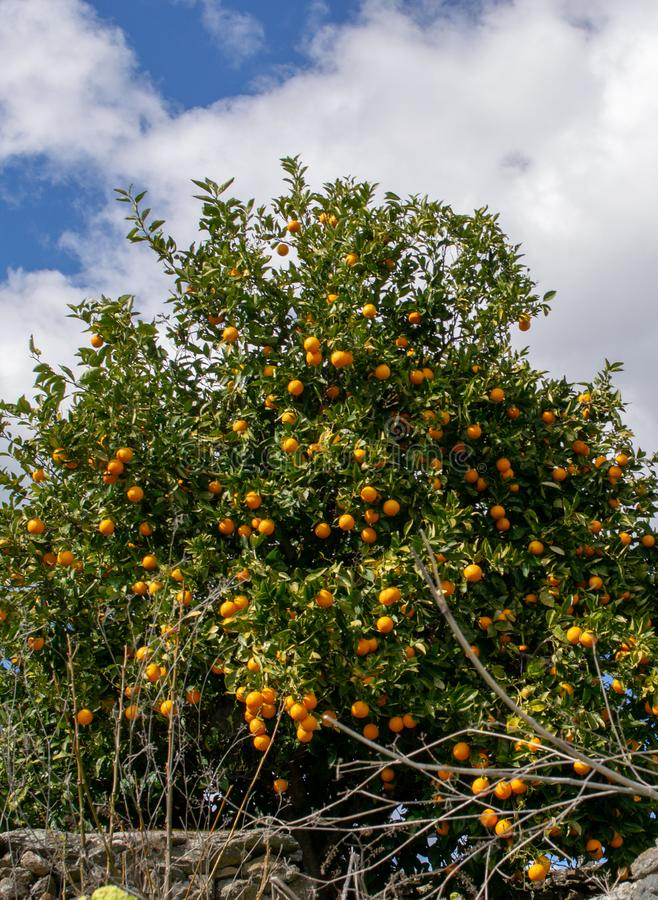 Klementine, die auf dem Baum w?chst lizenzfreies stockbild