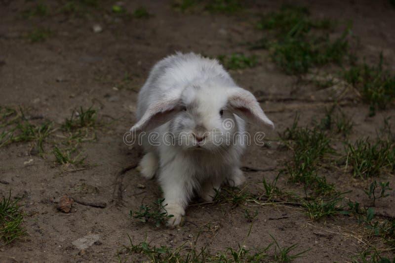 Klep-eared konijn het konijn loopt het zand royalty-vrije stock afbeeldingen