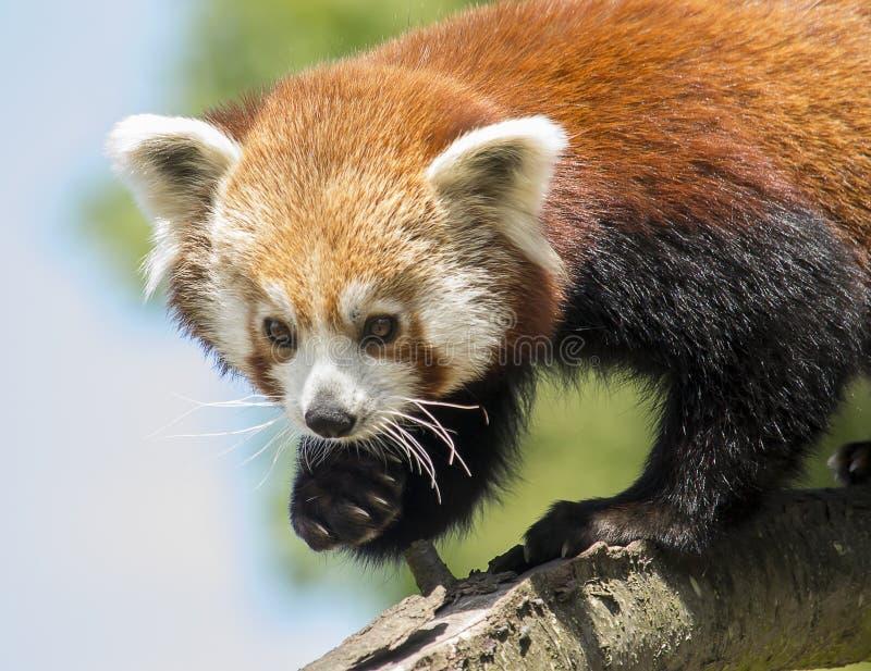 Klettern des roten Pandas stockbilder