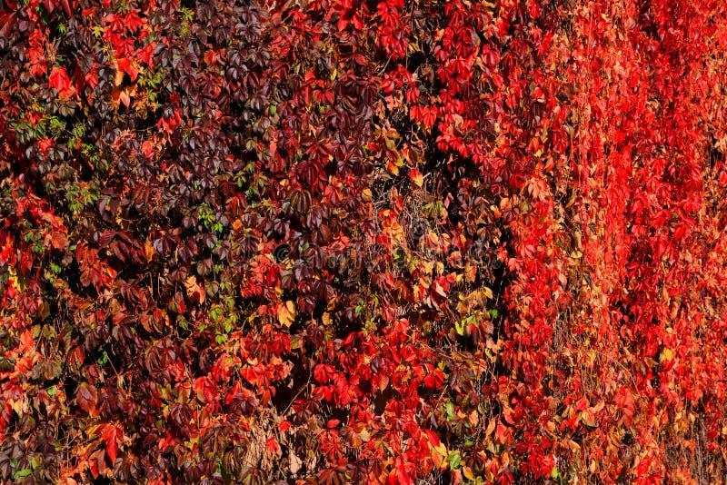 Kletternde Blätter in der ganzer Schönheit von Herbstfarben, sonniges Wetter der Herbstnaturschönheit lizenzfreies stockbild