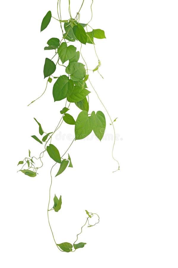 kletternde Reben des Herz-förmigen grünen Blattes lokalisiert auf weißem backgro lizenzfreies stockbild