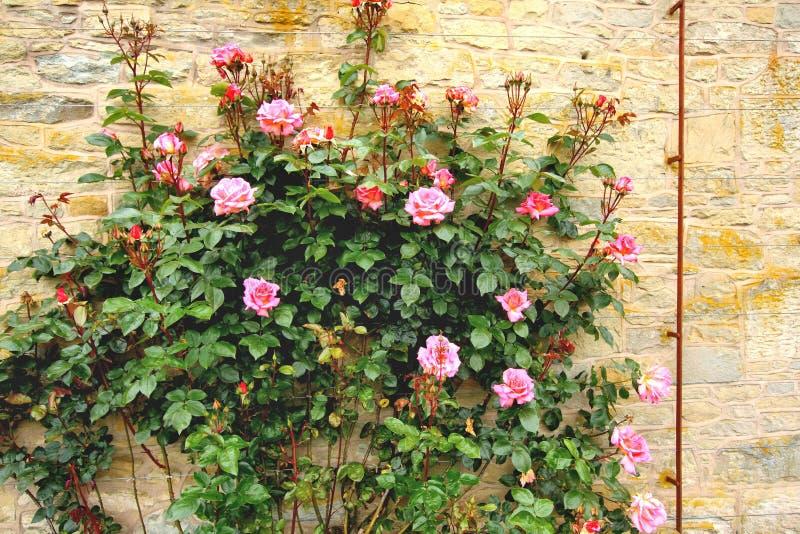 Kletternde Rosen im Garten stockfotos