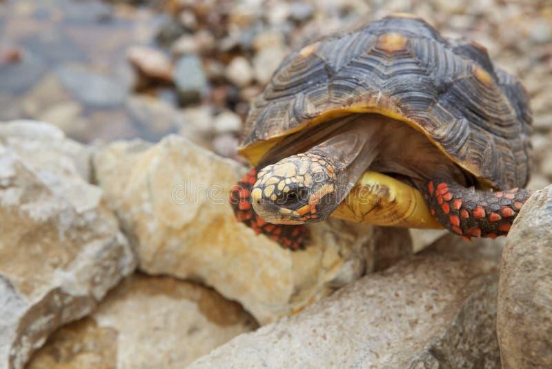 Kletternde Schildkröte lizenzfreie stockfotografie