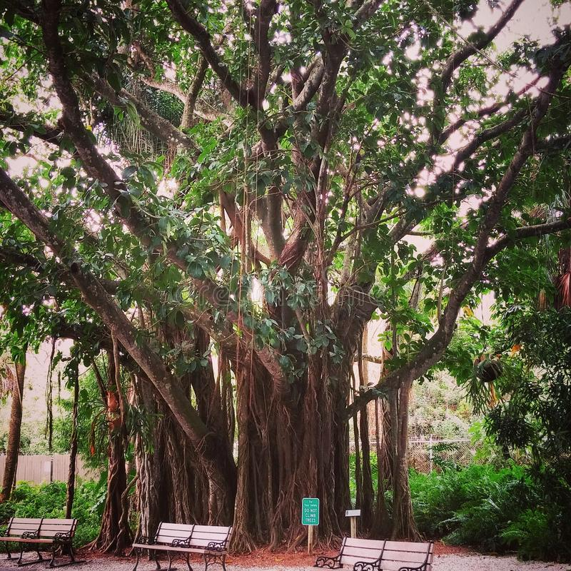 Kletternder Baum stockfoto