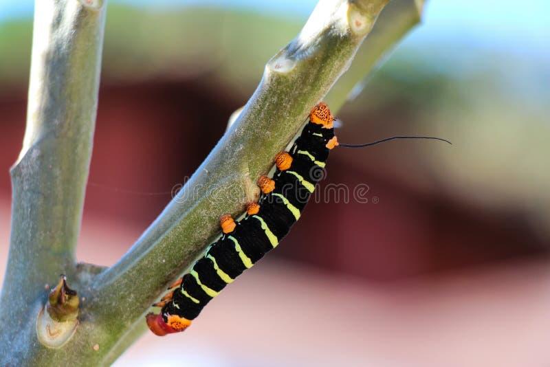Kletternder Baum Caterpillars lizenzfreies stockbild